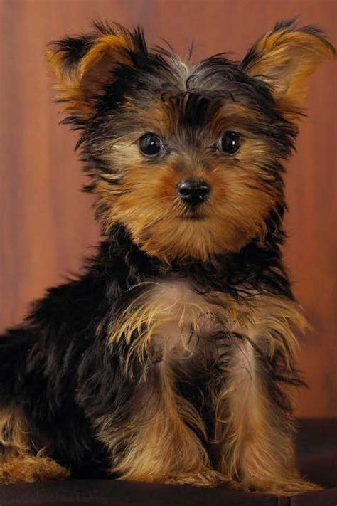 how to help yorkies mate for luxury boarding in bristol come to the woofchester hotel for your pet dogs hotel