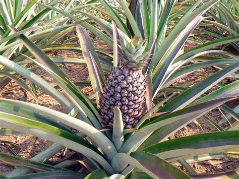 agave fruit images gratuites arbre plante fruit feuille ananas