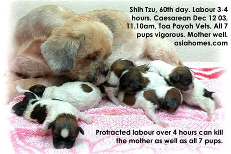 how big are shih tzu puppies at birth veterinary medicine surgery singapore toa payoh vets dogs cats rabbits guinea