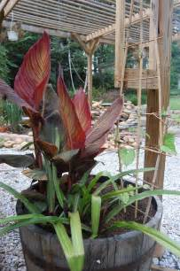potting a canna lily caring for cannas in containers