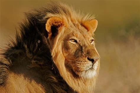 imagenes de leones y osos delf 237 n le 243 n oso o lobo 191 como cu 225 l de estos animales