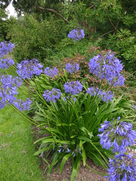 agapanthus loch 28 images agapanthus loch hope