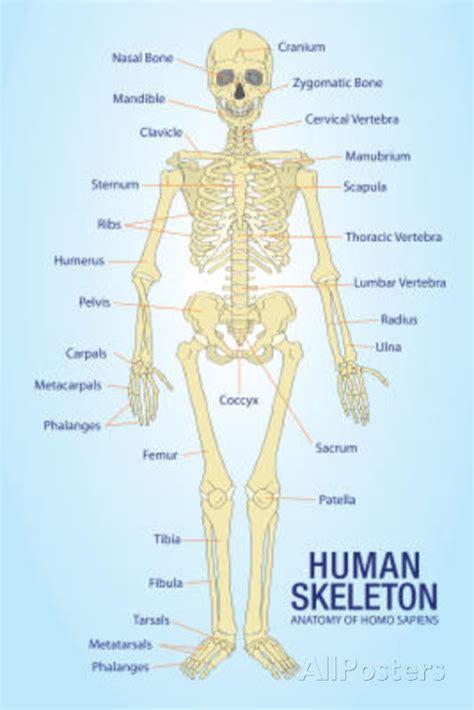diagram poster human skeleton anatomy anatomical chart poster print