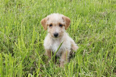 puppy classifieds jackapoo puppy sheffield south pets4homes