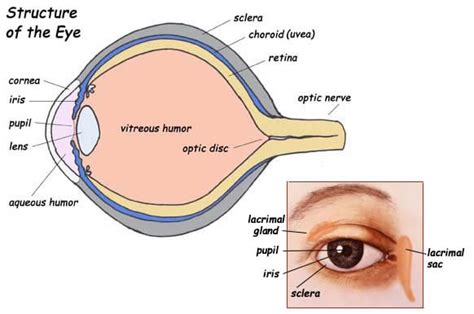 eye diagram label the part of the eye exploring nature educational