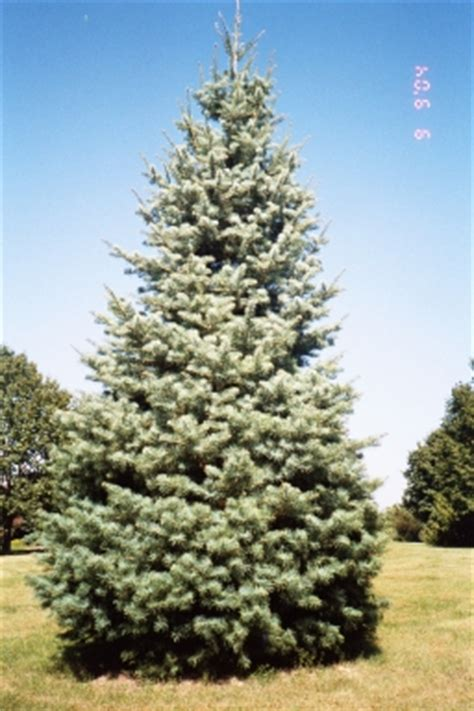does concolor fir smell like oranges concolor fir tree farm