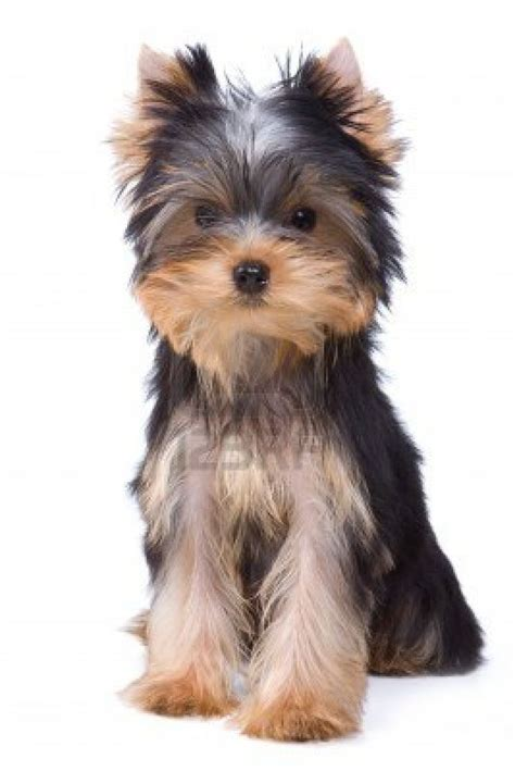 yorkies on yorkies on 16 pins pin yorkie haircuts on breeds picture