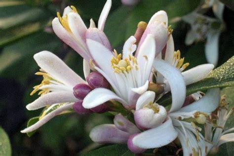 zagara fiore vivai cavallaro agrumi in fiore