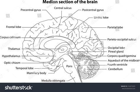 median section of brain human brain brain median section brain stock vector