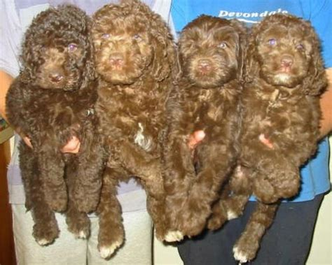 pictures of labradoodle puppies pictures of labradoodle puppies