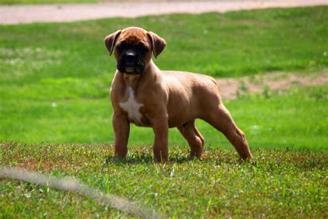 boxer puppies for sale in new boxer puppies for sale bazar