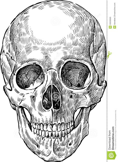 drawing of human skull stock image image of horror bone