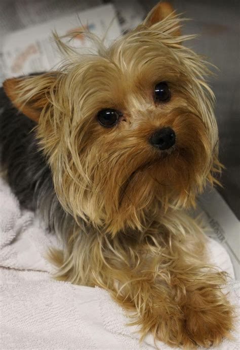 boy yorkies 246 best images about westies and other terriers on cairn terriers white