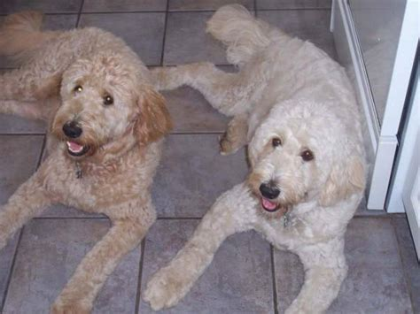 labrador doodle puppies for sale ontario what is a cross between labrador retriever and golden