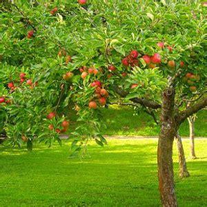 alberi da frutta in vaso 10 alberi da frutto da coltivare nell orto in giardino o