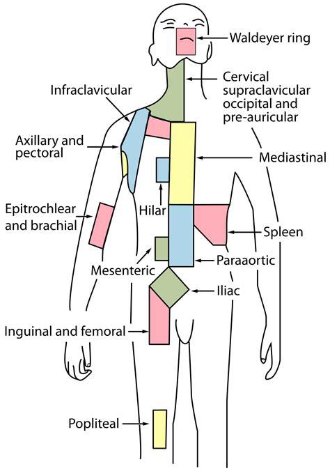 glands in the diagram cervical lymph nodes
