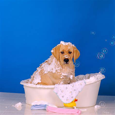 how often should you bathe a golden retriever how often should you wash your best shoo