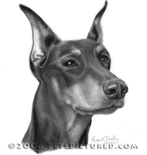 how to a doberman puppy angry doberman drawing