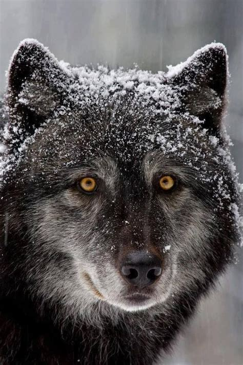 that looks like a wolf looks like a wolf wolves