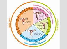 Menstruation - The Reproductive System Female Period Cycle