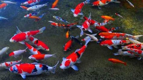 Harga Bibit Ikan Koi Import ikan hias yang mudah ditemui di indonesia