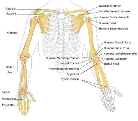 arm bone diagram ulnar styloid process