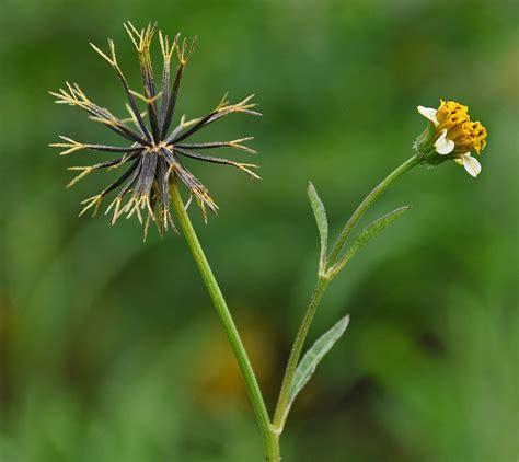 Bidens Pflanze by Bidens