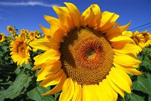 Pictures Of Pictures Of Sunflowers Collection For Free
