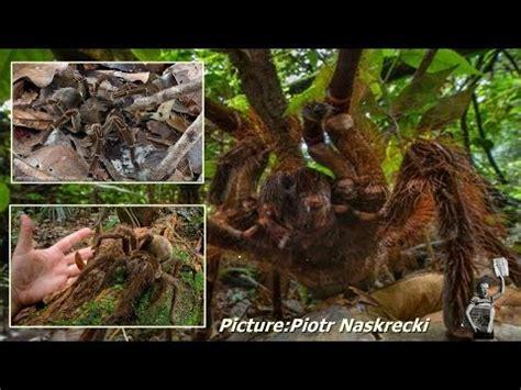 puppy sized spider goliath encounter puppy sized spider surprises scientist in rainforest worldnews
