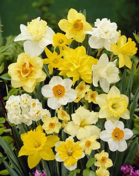 alzhaimer tuin 34 best daffodills images on pinterest daffodils spring