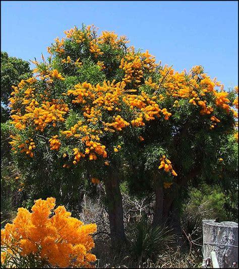western australian christmas tree abalook