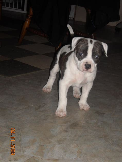 how many puppies do pitbulls in the litter pitbull littering quotes quotesgram