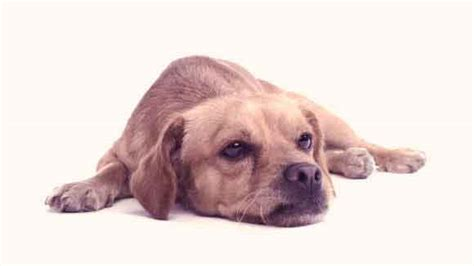 puppy diarrhea remedies how to get rid of diarrhea in puppies petcarerx
