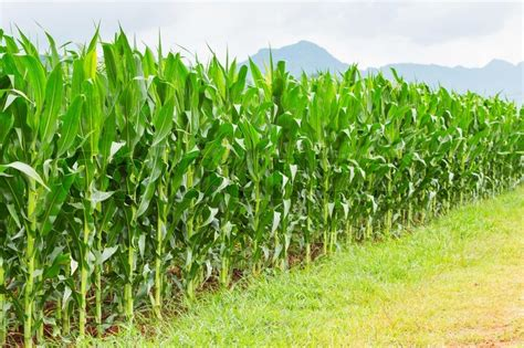 Corn plantation in Thailand   Stock Photo   Colourbox