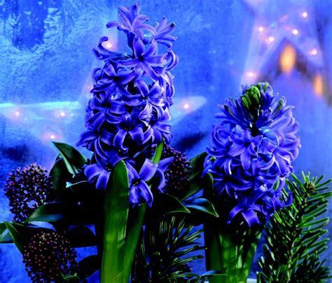 fiori giacinto come coltivare il giacinto di ital agro