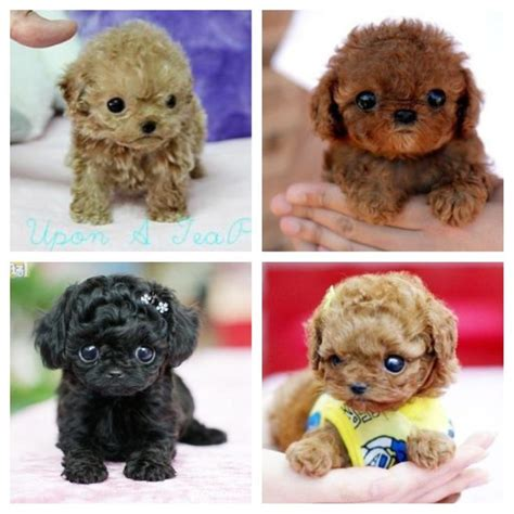 micro poodle puppy best 25 teacup poodle puppies ideas on teacup