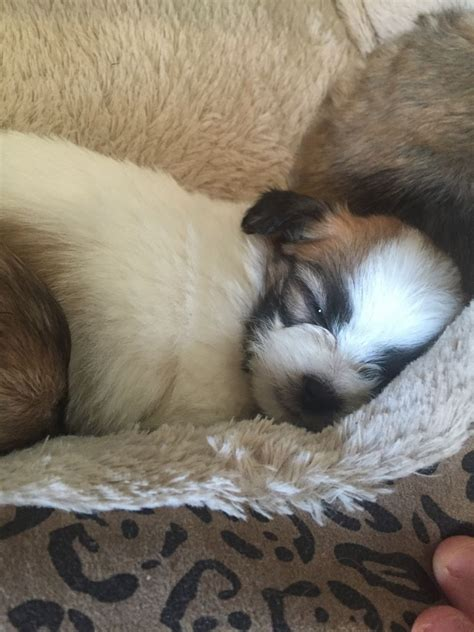 shih tzu cross chihuahua puppies for sale 5 puppies for sale chihuahua cross shih tzu heywood greater manchester pets4homes