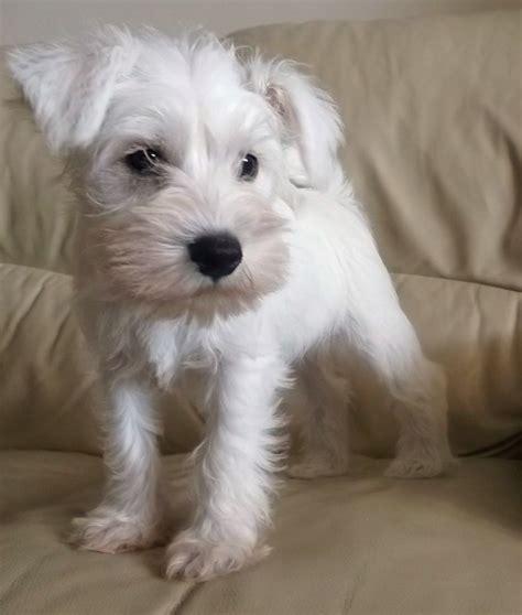Sale Kyt Vendeta 2 White white miniature schnauzer puppies sale pictures to pin on pinsdaddy