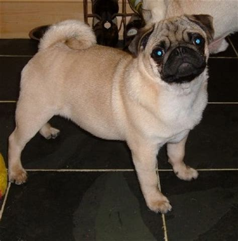healthy pug pug breed health