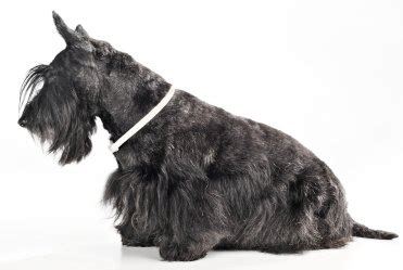 Do Scottish Terriers Shed by Tutorials For Illustrator Scottish Terriers Shed
