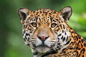 Is A Jaguar A Cat Cool Jaguar Wallpapers And Images Wallpapers Pictures