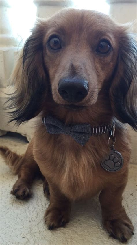 haired dachshund puppies best 25 dachshund ideas on weiner dogs