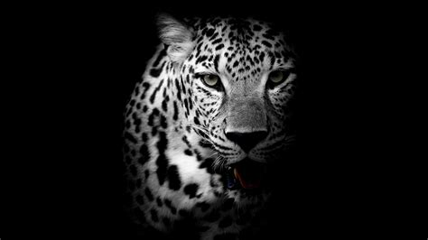 black and white leopard wallpaper leopard monochrome photography wallpaper wallpaper