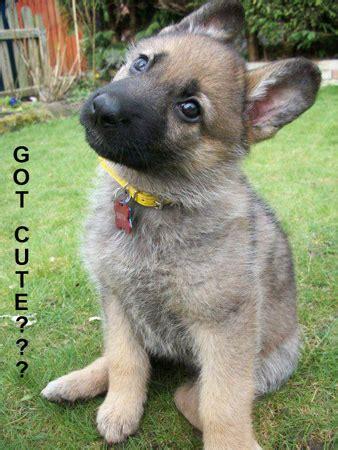 german shepherd puppies st louis german shepherd club of st louis missouri puppy puppies page