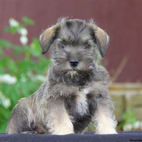 miniature schnauzer puppies for sale in pa leroy miniature schnauzer mix puppy for sale in pennsylvania
