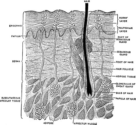vertical section of the skin vertical section of the skin clipart etc