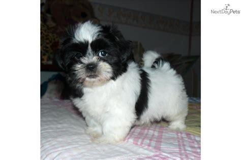 shih tzu puppies in kansas shih tzu puppies black and white www imgkid the image kid has it