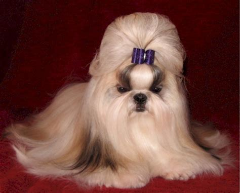 shih tzu haircuts pictures of shih tzu haircuts image search results