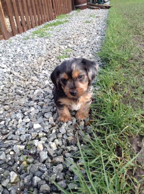dachshund x yorkie images of dachshund x terrier breeds picture
