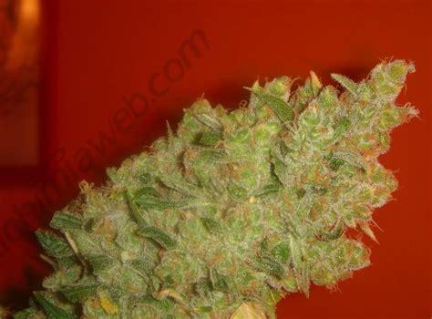 Northern Lights Seeds Jack La Mota Semillas De Marihuana